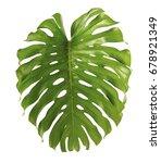 monstera deliciosa leaf or... | Shutterstock . vector #678921349