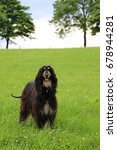 Small photo of afghan hound is standing in the park