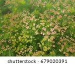 tiny pink flowers with green... | Shutterstock . vector #679020391
