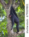 Small photo of red-faced spider monkey, Ateles paniscuscaught, hanging in tree