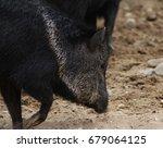 the collared peccary  pecari... | Shutterstock . vector #679064125