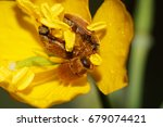 Small photo of Close-up of three brown Caucasian beetles alleculinae Alleculidae, sitting in flower pollen yellow celandine Chelidonium