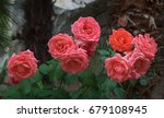 group of fragrant red roses