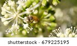 bee collecting pollen on white... | Shutterstock . vector #679225195
