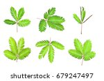Sensitive Plant  Sleepy Plant ...