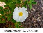 Ciste Flower From Corsica       ...
