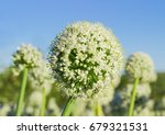 Inflorescence Of The Onion On ...