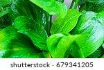 Small photo of Alocasia cucullata tree in garden.