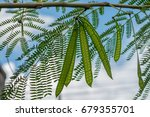 Small photo of Image of green seeds of acacia farnesiana tree growing in nature environment for food on sky background