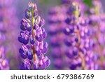 lupinus  lupin  lupine field... | Shutterstock . vector #679386769