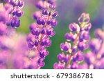 lupinus  lupin  lupine field... | Shutterstock . vector #679386781