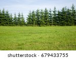 Meadow And A Line Of Conifers ...