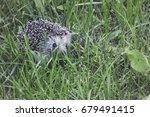 young hedgehog in the green...   Shutterstock . vector #679491415