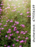Small photo of wonderful vibrant pink flowers in sunshine. Flowers Trailing Ice Plant