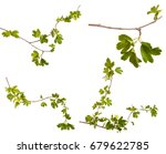 a branch of a currant bush with ... | Shutterstock . vector #679622785