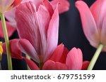 Dark Red Tulip  Black...