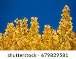 Autumn Yellow Foliage. Aspen...