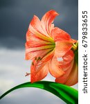 Small photo of Amaryllis (Hipperastrum). Red large amaryllis flowers against cloudy sky
