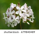 Common Soapwort  Saponaria...