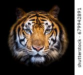 Stock photo headshot of indochinese tiger panthera tigris corbetti on black with copyspace 679942891