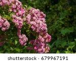 hybrid tea roses. tea rose. a... | Shutterstock . vector #679967191
