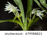 Small photo of Eria myristiciformis