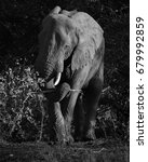 Small photo of African elephant / Grazing