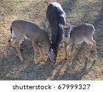 Three Whitetail Deer That Are...