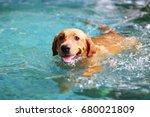 Labrador Retriever  Happy Dog...