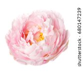 pink rosy peony isolated on... | Shutterstock . vector #680147239