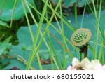 Lotus   Water Lily  Nelumbo...