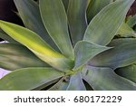 agave attenuata or  foxtail...   Shutterstock . vector #680172229