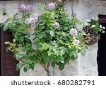 Bush Of Roses On A Stone Wall
