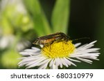 Small photo of Macro side view of green-bronze beetle Alleculidae with long antennas and paws sitting on yellow stamens flower of the Caucasus Erigeron