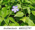 Single Flower Of Periwinkle...