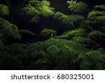 mimosa tree lush green branches ... | Shutterstock . vector #680325001