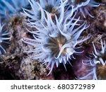 Small photo of Sandalled anemone (Actinothoe sphyrodeta)