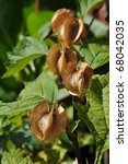 Small photo of Three brown Nicandra seedboxes in a row