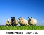 Sheep On Grass With Blue Sky....