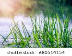 Small photo of Young green reeds in the river against the sun on a summer day
