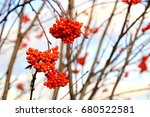 Bright Red Rowan Berries On A...