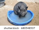 Hog In Kiddie Pool