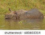Indian Rhino In A River In...