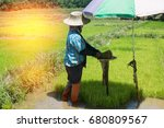 farmers are growing rice tree... | Shutterstock . vector #680809567