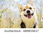 Stock photo happy and active purebred welsh corgi dog outdoors in the flowers on a sunny summer day 680810617