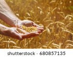 Small photo of wheat grains in female palm on wheat field background. harvest, agriculture, agronomics, food, production, organic concept.