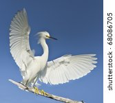 Snowy Egret With Spreaded Wing...