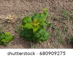 young sprouts of raspberry in... | Shutterstock . vector #680909275