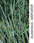Small photo of spiky grass Elymus hispidus - Elymus Glauca - Ornamental Blue Grass. Wild Rye Grass