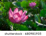 The Lotus Flower. Background I...